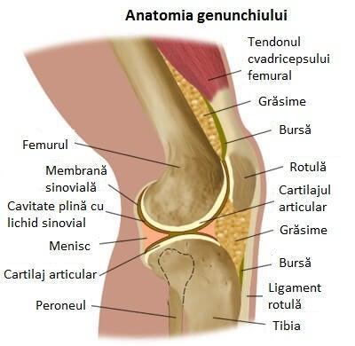 Anatomia genunchiului