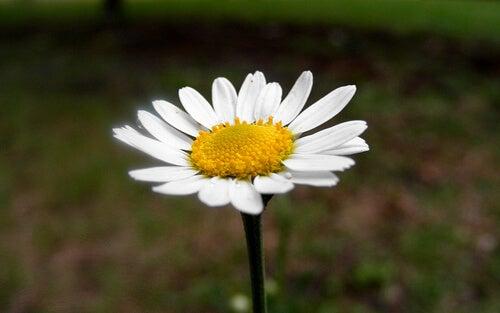 floare de mușețel