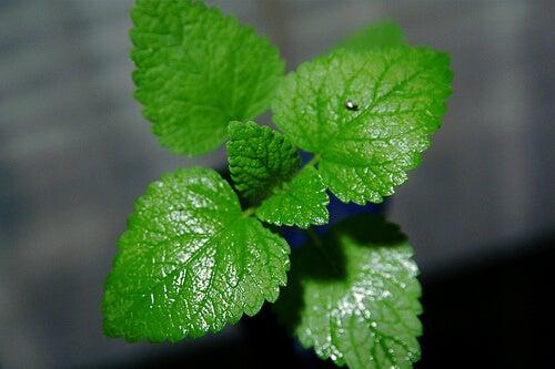 Frunze de mentă