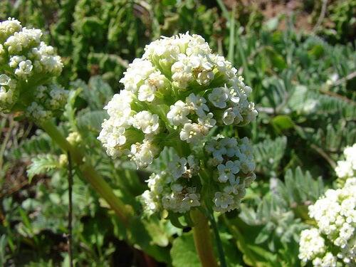 Plante pentru relaxarea musculaturii