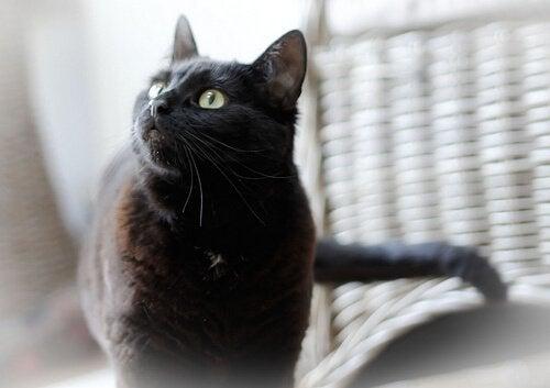 Uleiul de măsline oferă un beneficiu pentru pisici