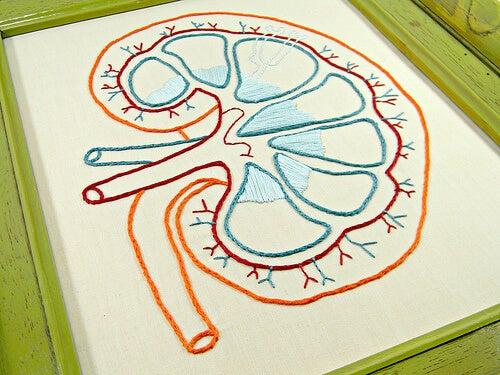 Desen prezentând structura rinichilor