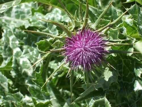 Armurariul pe lista de plante medicinale care elimină acidul uric în exces