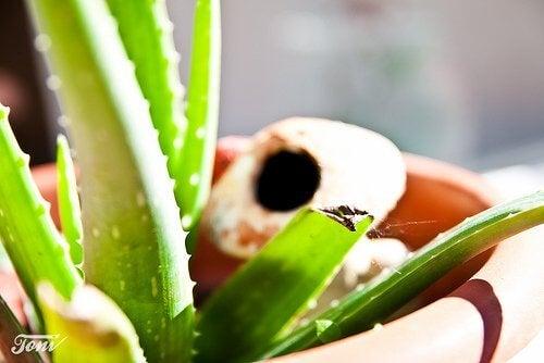 Aloe vera în ghiveci