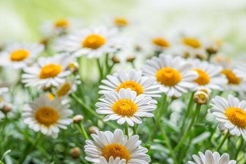 Mușețelul în topul celor mai bune plante vindecătoare