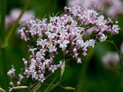 Valeriana pe lista de remedii naturale pentru anxietate