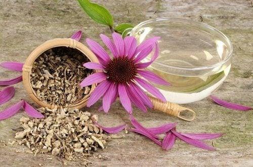 Florile de echinacea sunt antibiotice naturiste