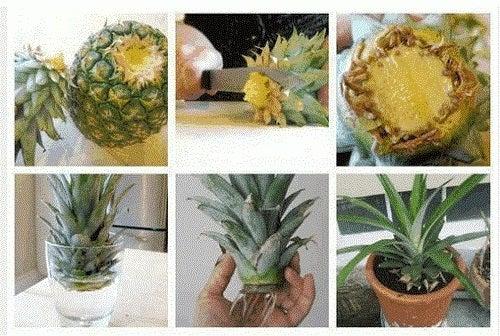 Indicații despre cum să cultivi ananas acasă