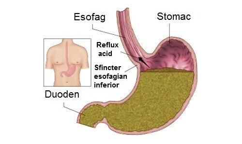 Organe interne