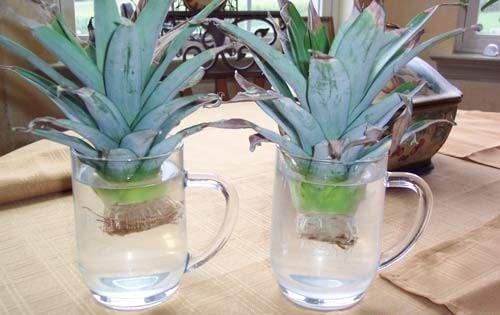 Informații despre cum să cultivi ananas acasă