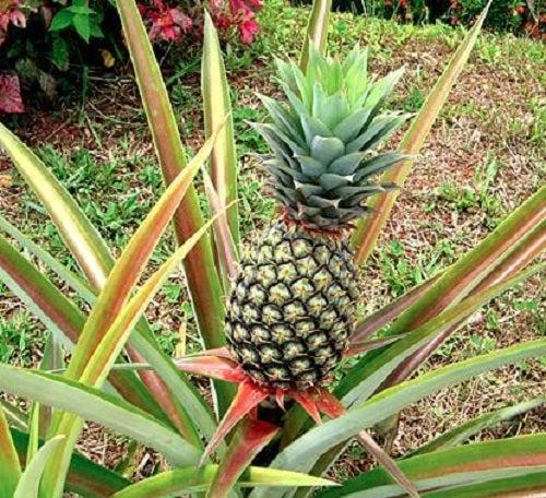 Sfaturi despre cum să cultivi ananas acasă
