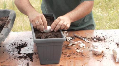 Cum să crești usturoi în ghiveci