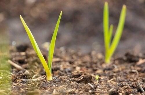 Lăstari de usturoi ieșind din pământ