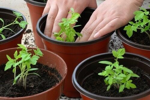 Poți să plantezi și să crești roșiile acasă