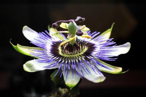 Florea pasiunii pentru durerile de cap