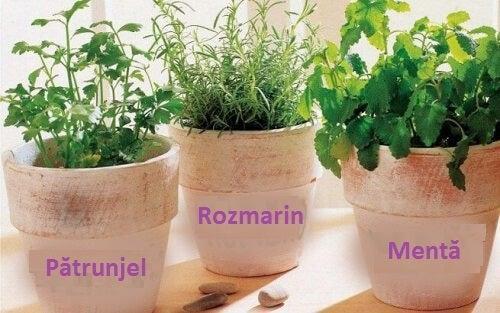 Cum să crești rozmarin, pătrunjel și mentă