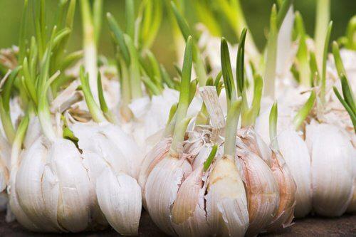 Usturoiul este unul dintre alimentele bogate în flavonoide