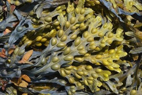 Algele Kelp tratează hipotiroidismul