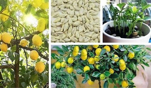 Cum crești un lămâi din semințe în 10 pași
