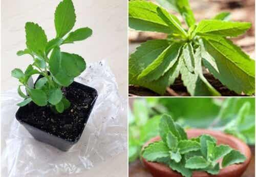 Îndulcitor natural: cum să cultivi stevia acasă