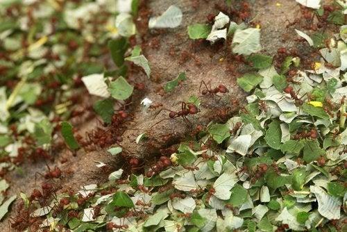 Scorțișoara în grădină alungă insectele