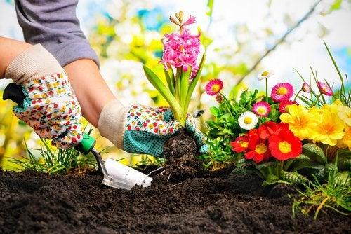 Scorțișoara în grădină la rădăcina plantelor