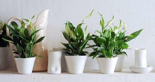 Crinul păcii ajută la purificarea aerului din locuință