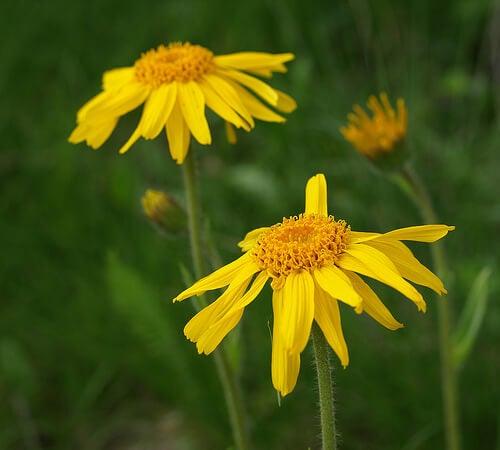 Floare de arnică pentru varice