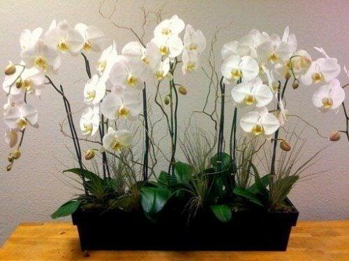 Orhideea ajută la purificarea aerului din locuință