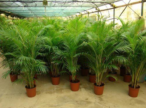 Palmierul Areca ajută la purificarea aerului din locuință