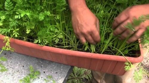 Cum să crești morcovi acasă în ghiveci