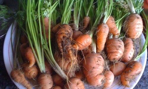 Cum să crești morcovi la tine acasă