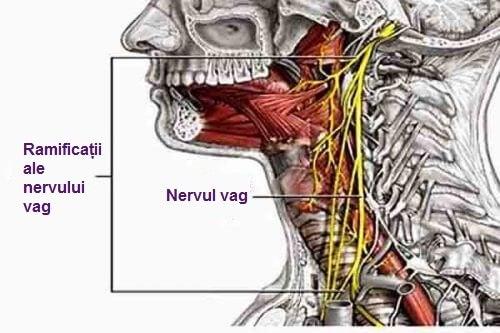 Nervul vag trece prin diferite zone ale corpului