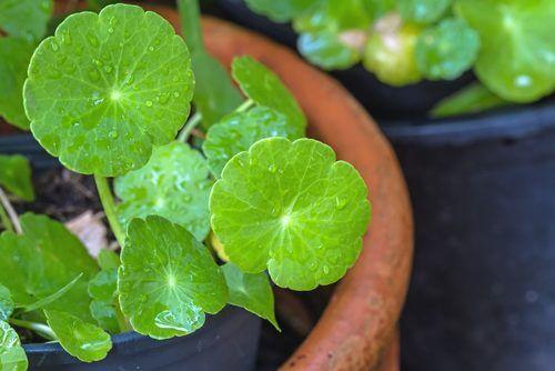 Centella asiatica – ce este și cum se utilizează?