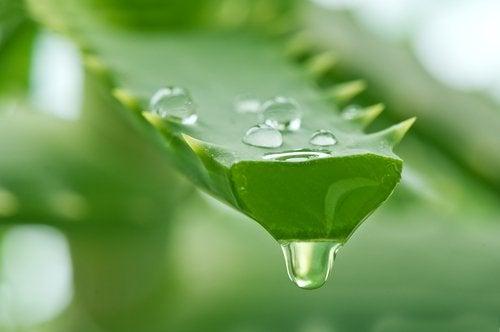 Aloe vera ajută la crearea unei măști de păr bogate în proteine