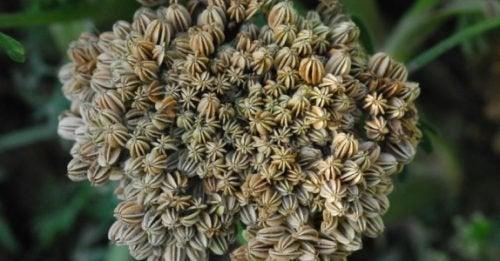 Pătrunjelul de zăpadă se află pe lista de plante care stimulează libidoul