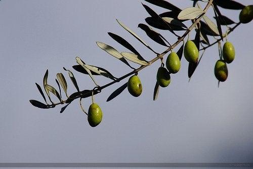Măslinul intră în categoria de pomi fructiferi crescuți în ghiveci