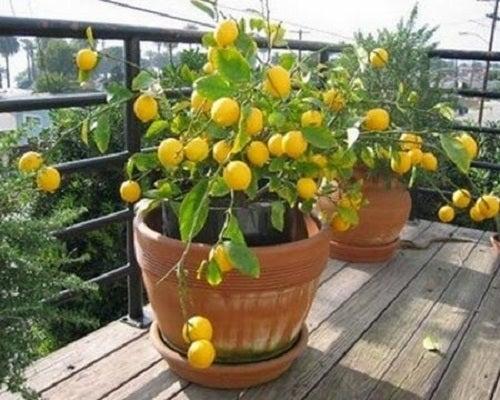 4 tipuri de pomi fructiferi crescuți în ghiveci
