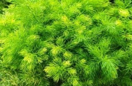 Shatavari este una dintre cele mai bune plante care stimulează libidoul
