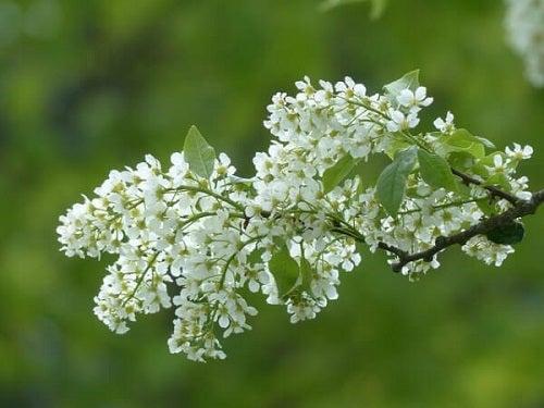 Plante medicinale pentru tratarea depresiei ca angelica
