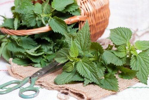 Urzica pe lista de plante și mirodenii care stimulează creșterea părului