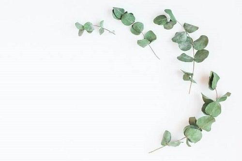 Frunzele de eucalipt pe lista de remedii naturale care întăresc plămânii