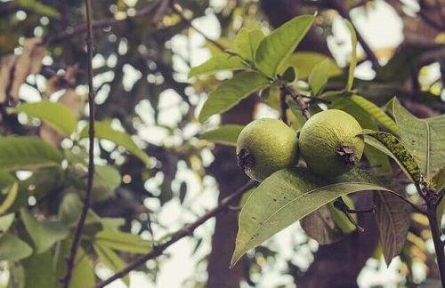 Frunzele de guava sunt remedii naturale pentru mirosul vaginal neplăcut