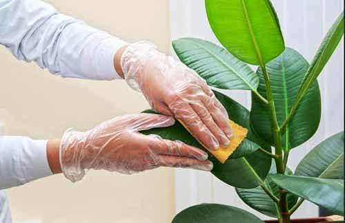 Cum să cureți frunzele plantelor din ghiveci