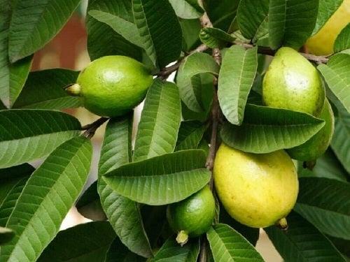Frunze și fructe de guava