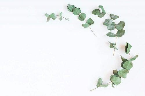 Plante medicinale care luptă împotriva diabetului precum eucaliptul