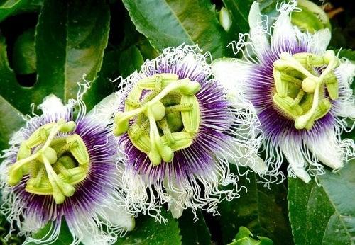 Remedii naturiste pentru anxietate cu floarea pasiunii