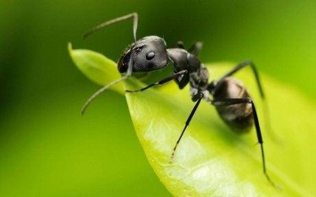 Utilizări ale oțetului în grădină ca repelent pentru furnici