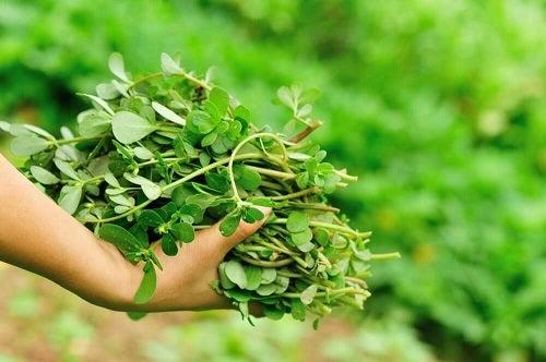 Beneficii oferite de iarba grasă ca remediu natural