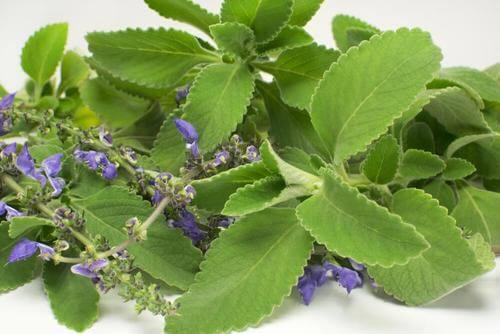Ceaiul de boldo ajută la tratarea afecțiunilor urinare
